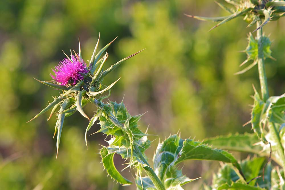 Miwok Thistle, photo by GT